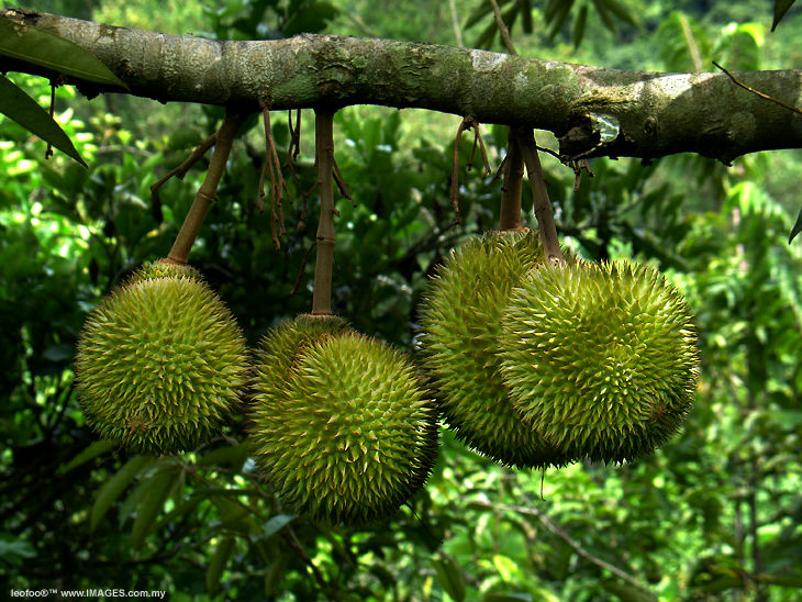 The King of Tropical fruits - Malaysian Durian on the tree