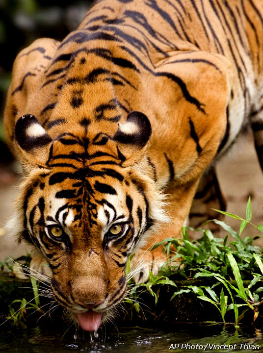 http://www.mir.com.my/rb/photography/hardwares/classics/eos/EOS-1n/credit-images/Vincent_Thian/Sumatran_tiger.jpg